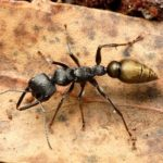 Bull ants are a species of ant that do not venture inside very much.